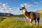 Llama in the Rocky Mountains Photographic Print by Patrick Poendl
