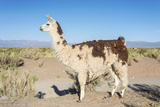 Llama in Salinas Grandes in Jujuy, Argentina. Photographic Print by Anibal Trejo