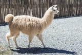 Llama in Purmamarca, Jujuy, Argentina. Photographic Print by Anibal Trejo