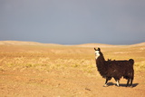 South American Llama Photographic Print by  zanskar