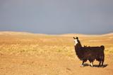 South American Llama Prints by  zanskar