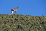 Llama Standing on Hillside Photographic Print by  Nosnibor137