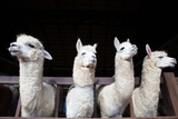 Face of Four Funny Alpacas Llama in Farm Photographic Print by  khunaspix