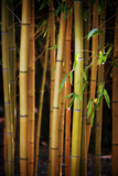 Bamboo Tribe Photographic Print by Philippe Sainte-Laudy