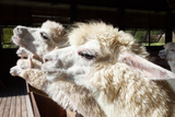 Close up Side View Face of Llama Alpacas in Ranch Farm Photographic Print by  khunaspix