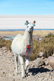 Llama with Uyuni Salt Flats Photographic Print by  jkraft5
