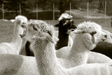 Alpaca Photographic Print by  meunierd