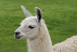 Beautiful Llama. Photographic Print by  daseaford