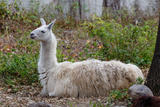 Llama Photographic Print by  psvrusso