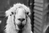 The Llama Photographic Print by  meunierd