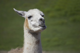 Chewing Llama Photographic Print by  SusanFeldberg