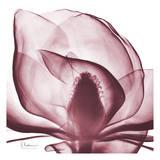Magnolia Marcela Poster von Albert Koetsier