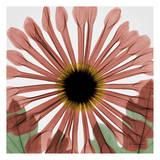Chrysanthemum Marsala Print by Albert Koetsier