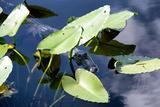 Crocodile - Everglades National Park - Unesco World Heritage Site - Florida - USA Photographic Print by Philippe Hugonnard