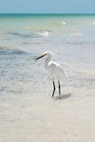 White Heron - Florida Photographic Print by Philippe Hugonnard