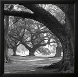 Oak Alley, West Row Prints by William Guion