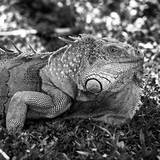 Green Iguana - Florida Photographic Print by Philippe Hugonnard