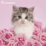 Rachael Hale Cats - 2016 Calendar Calendars