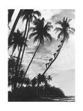 Palms on Hawaii, 1930S Photographic Print by  Scherl