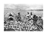 Pineapple Cultivation in Hawaii, 1920S Photographic Print by  Scherl