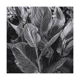 Canna Lily Leaves Photographic Print by Henri Silberman