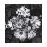 Roses Photographic Print by Henri Silberman