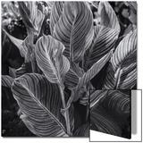 Canna Lily Leaves Prints by Henri Silberman