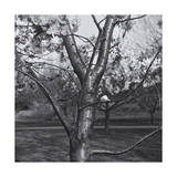 Cherry Tree Close-Up Photographic Print by Henri Silberman