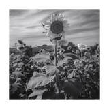 Sunflower in Field 2 Photographic Print by Henri Silberman