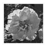 Peony Flower, Close-Up Photographic Print by Henri Silberman