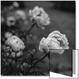 Peony Flowers in Garden Poster von Henri Silberman
