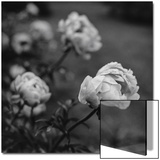 Peony Flowers in Garden Print by Henri Silberman