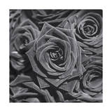 Roses, Close-Up Photographic Print by Henri Silberman