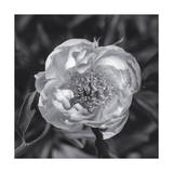 Peony Flower, Close-Up 2 Photographic Print by Henri Silberman