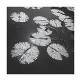 Lily Pads in Pond 2 Photographic Print by Henri Silberman