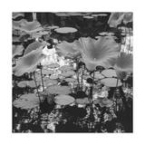 Lilies and Reflections Photographic Print by Henri Silberman