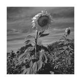 Sunflowers in Field Photographic Print by Henri Silberman