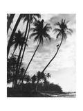 Palmen auf Hawaii, 1930er Jahre Fotografisk tryk af Scherl