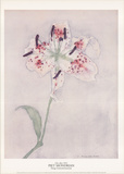 Lily Collectable Print by Piet Mondrian
