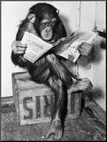 Chimpanzee Reading Newspaper Mounted Print