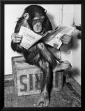 Chimpanzee Reading Newspaper Poster