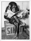 Chimpanzee Reading Newspaper Prints