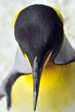 King Penguins Photographic Print by Mike Aguilera