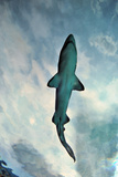 Shark in Water Photographic Print by Mike Aguilera