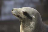 Sea Lion Profile Photographic Print