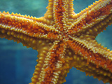Sea Star Photographic Print