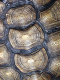 Tortoise Shell Closeup Photographic Print