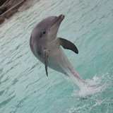 Dolphin Jumping Photographic Print