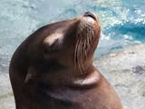 California Sea Lion Photographic Print