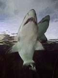 Sand Tiger Sharks Swimming Photographic Print by Mike Aguilera